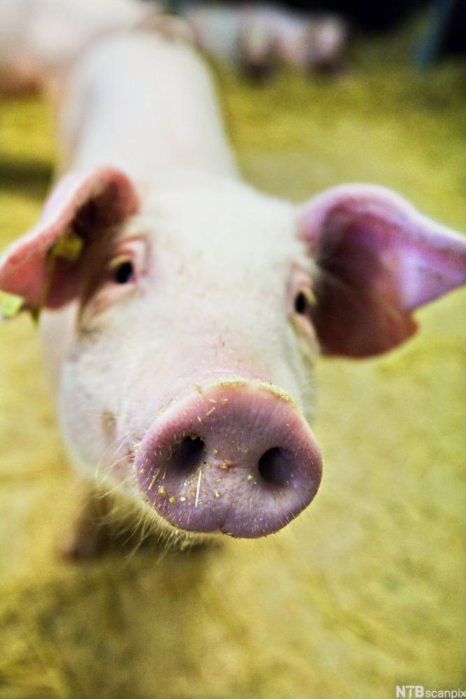 Bilde av en gris.