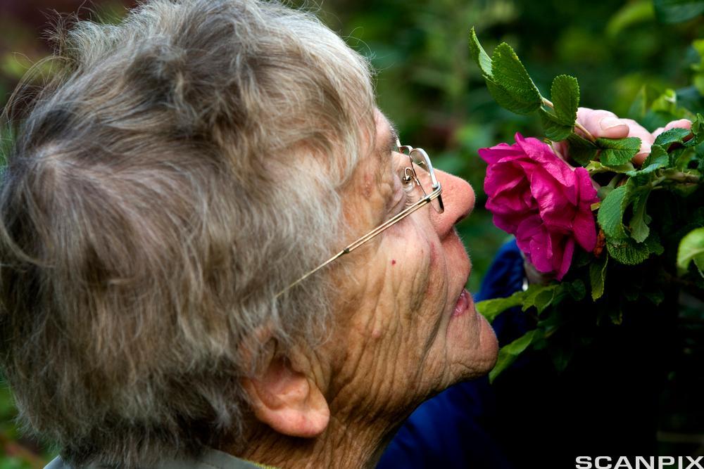 Eldre dame lukter på blomst. Foto