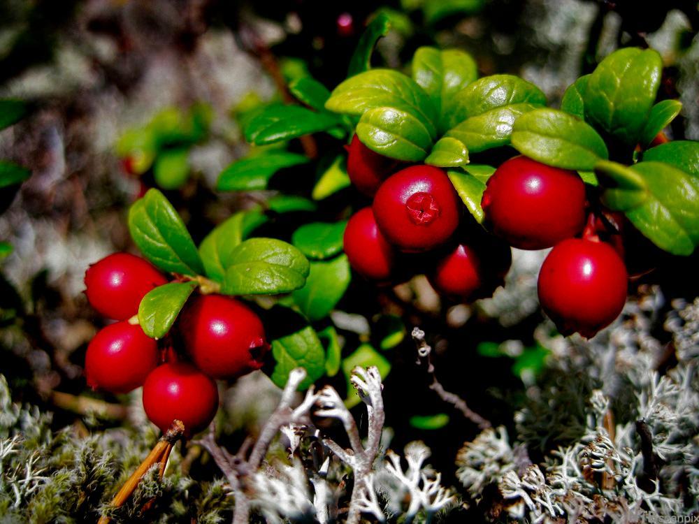Tyttebær. Foto.