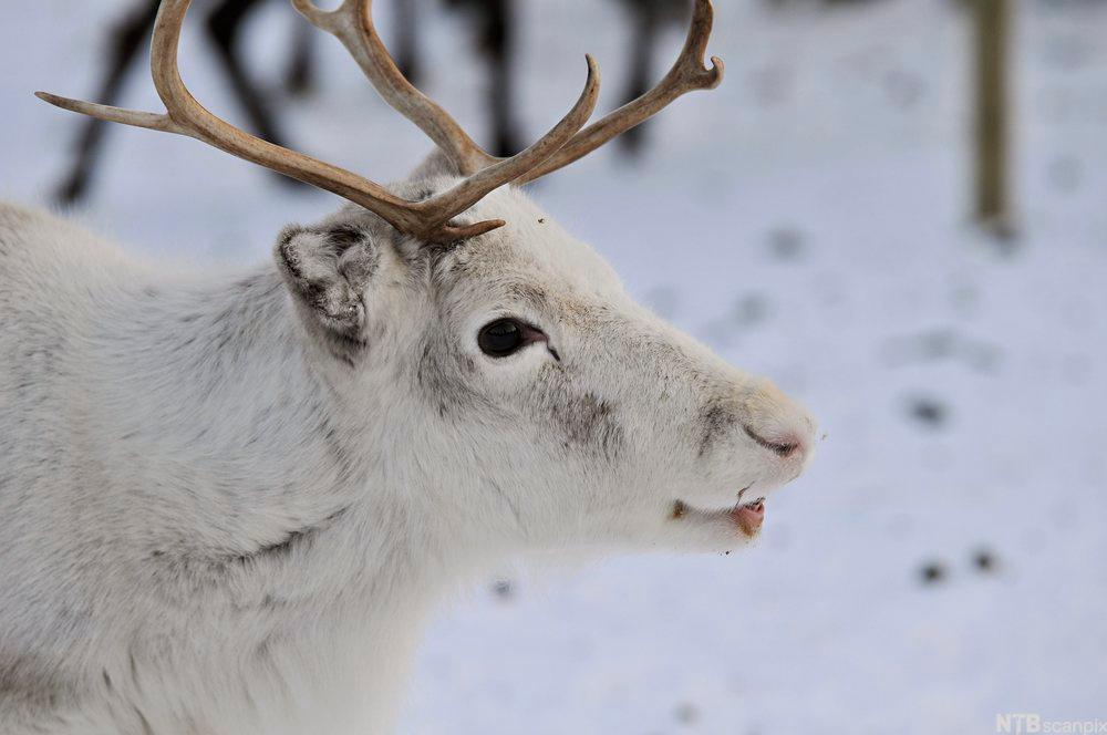 Bilde av et reinsdyr.Foto.