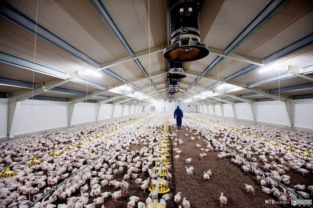 Kyllinger i et stort hønsehus. Foto.