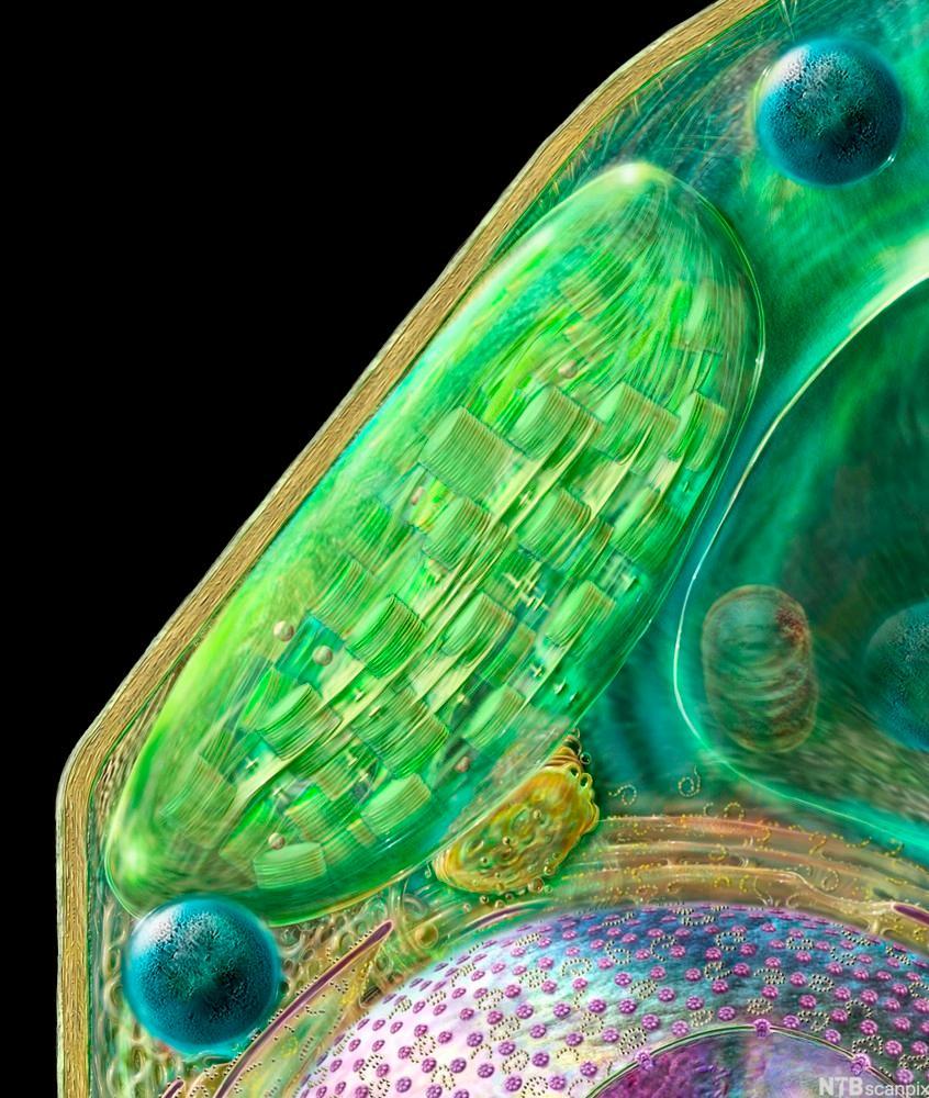 Kloroplast og peroksisomer. Illustrasjon.