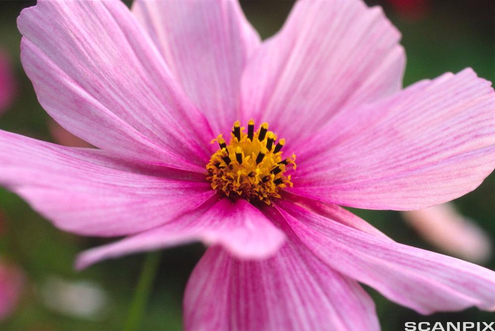 Rosa blomst. Foto.