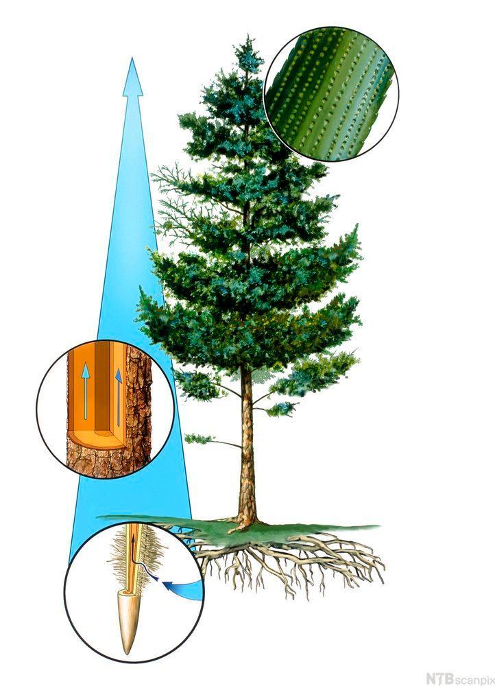 Vanntransport i trær. Illustrasjon.