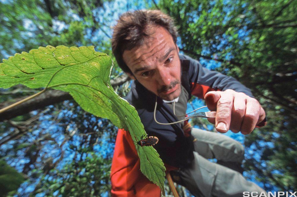 Mann som samler inn insekter i et tre. Foto.