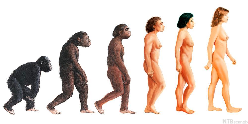 Utvikling fra ape til menneske. Illustrasjon.