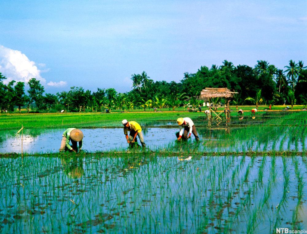 Risåker på Bali i Indonesia. Foto.