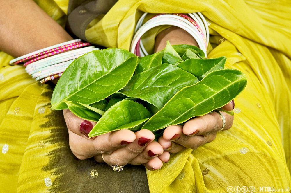 Indisk kvinne holder teblader i hendene.