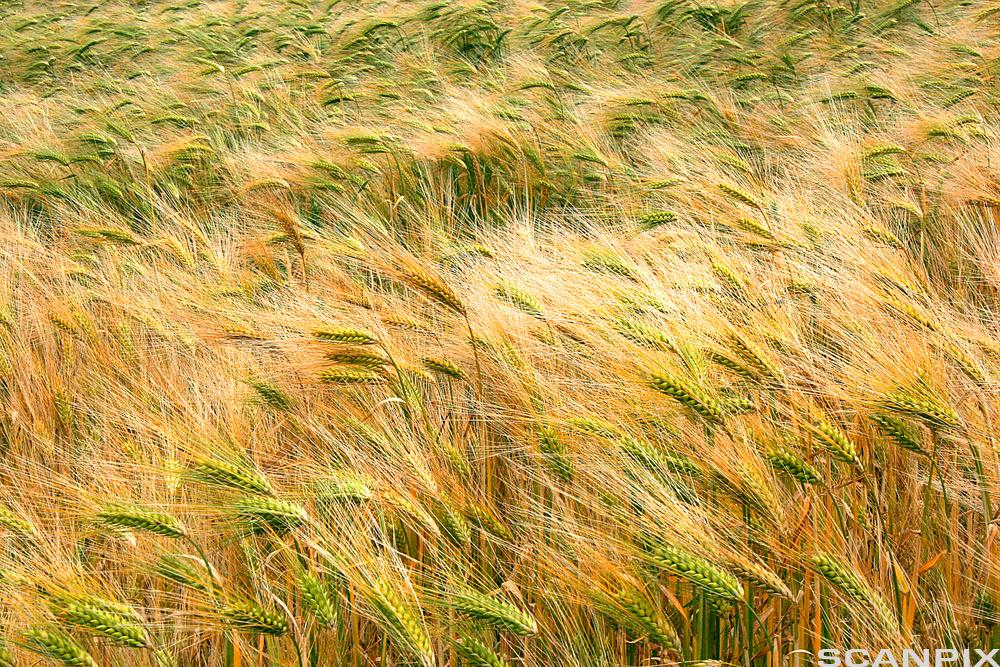 Field of rye. Photo.