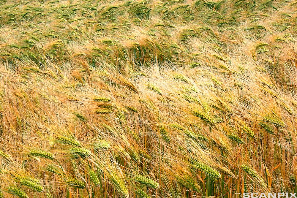 Field of rye. Photo.