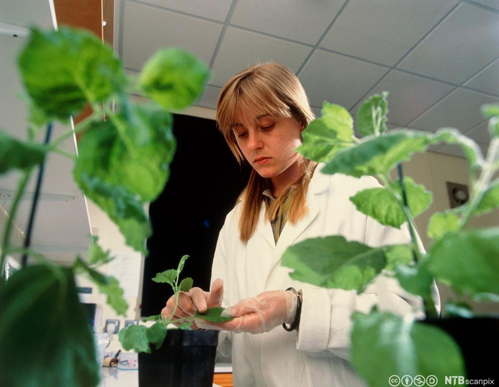 En forsker smører på genmodifiserte virus på bladene til en plante.