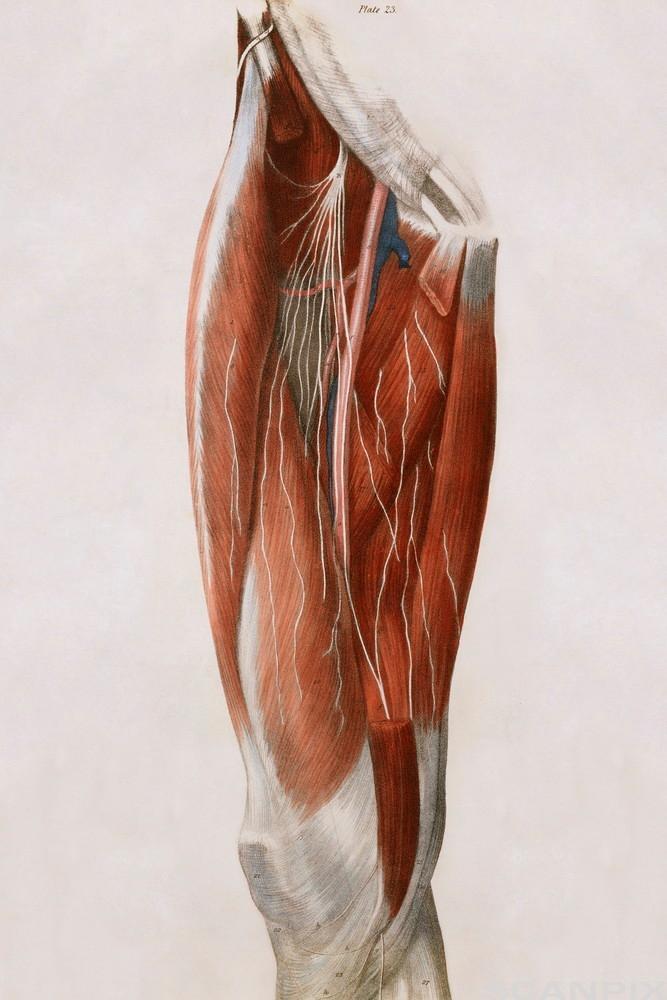 Nerver og muskler i et lår. Foto.