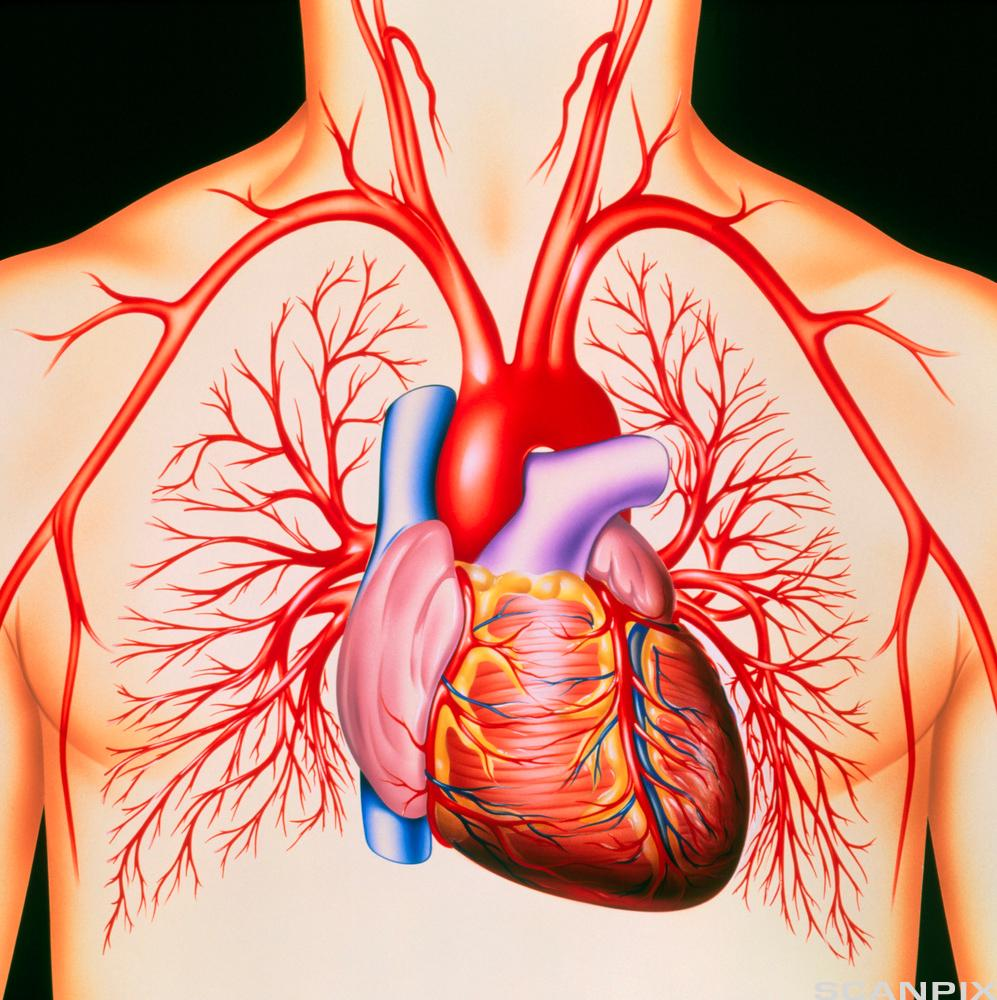Hjerte og blodårer. Illustrasjon.