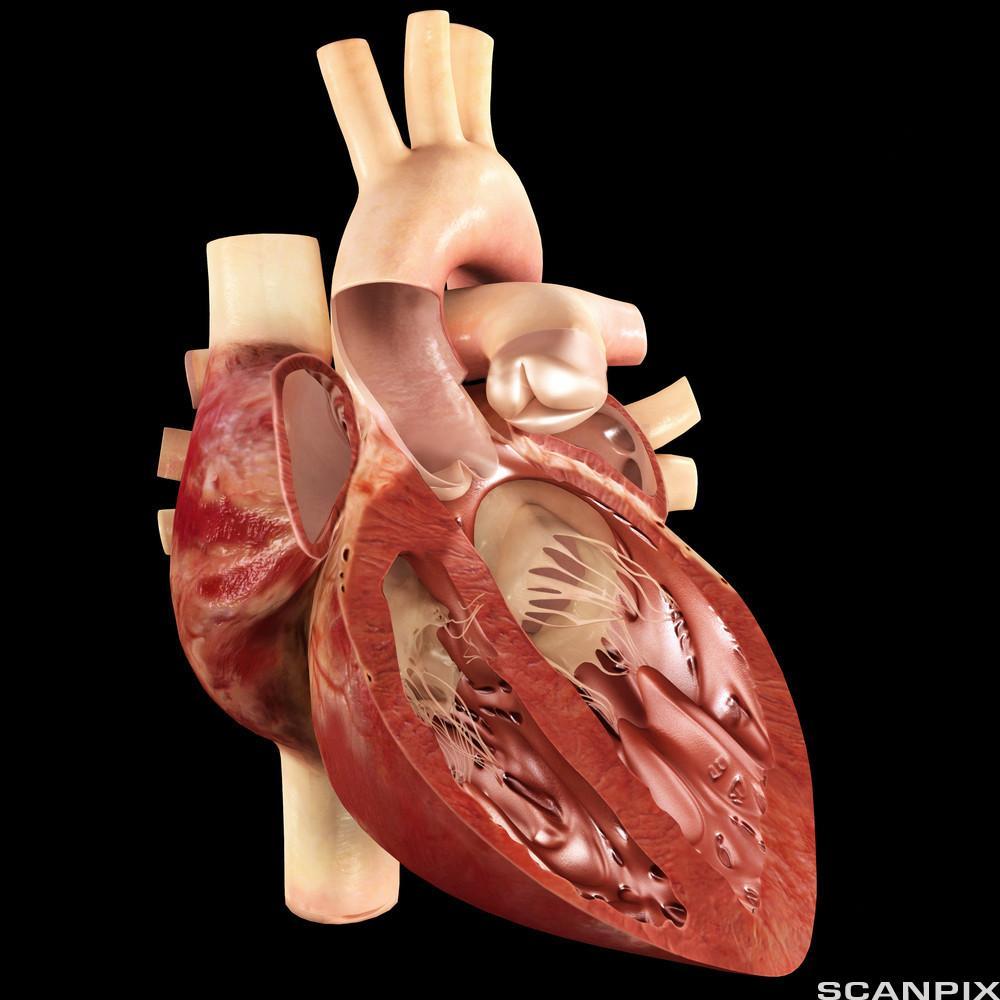 Et gjennomskåret hjerte. Illustrasjon.