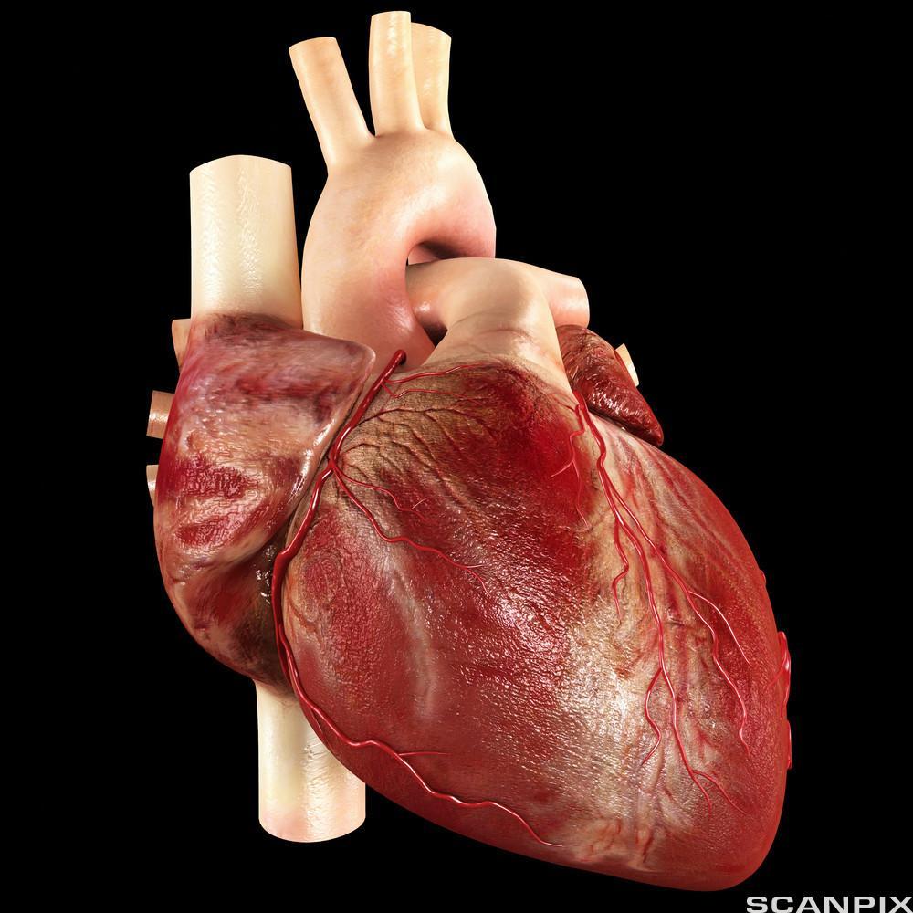 modell av hjertemuskelen