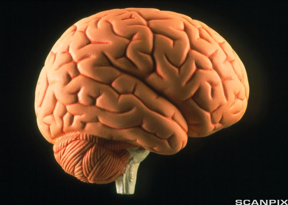 Hjerne. Foto.