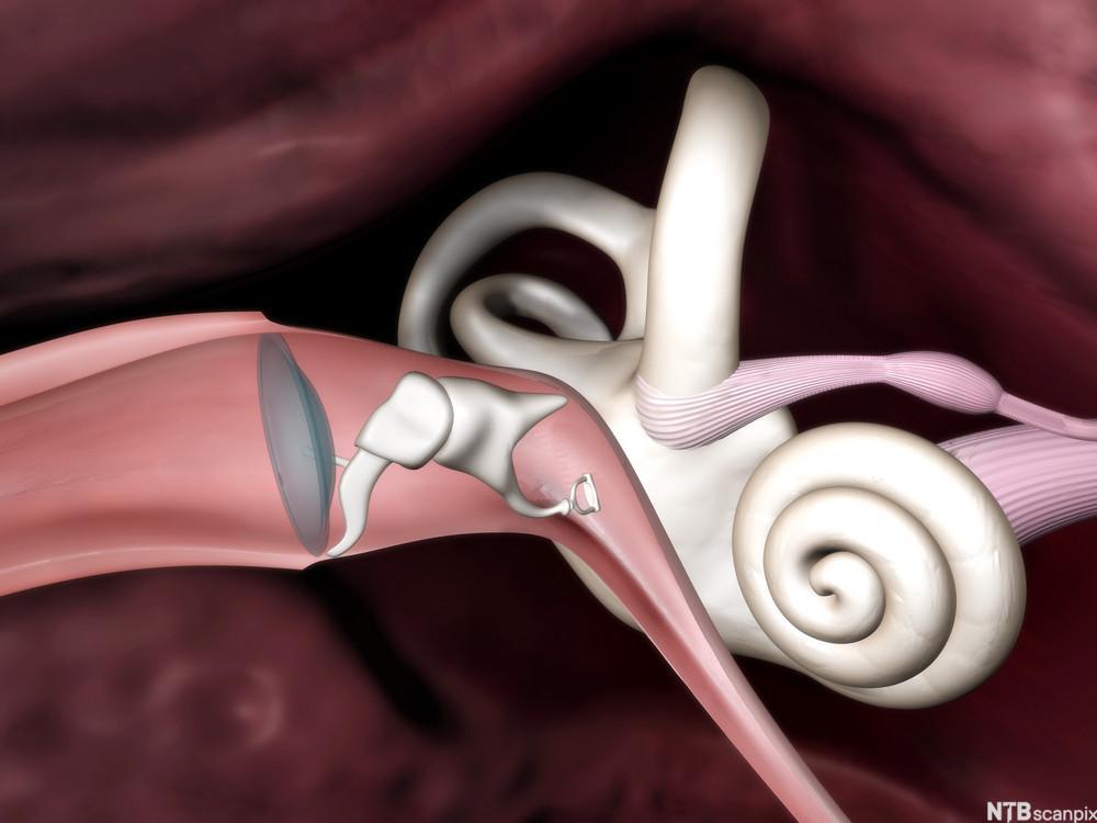 Illustrasjon av det indre øret.