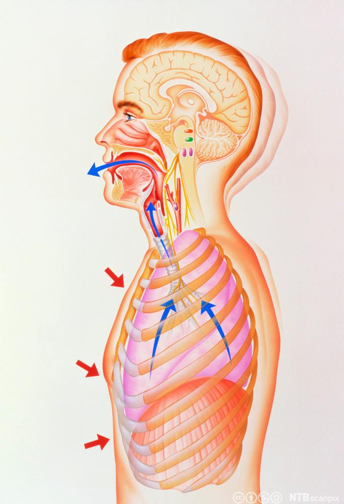 Illustrasjon som viser en person som hoster