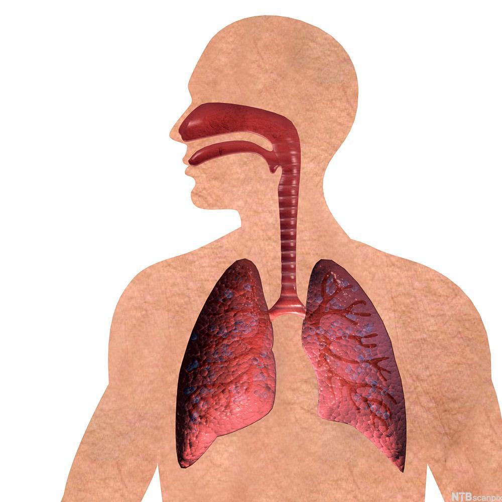 Respirasjonsorgan. Foto.