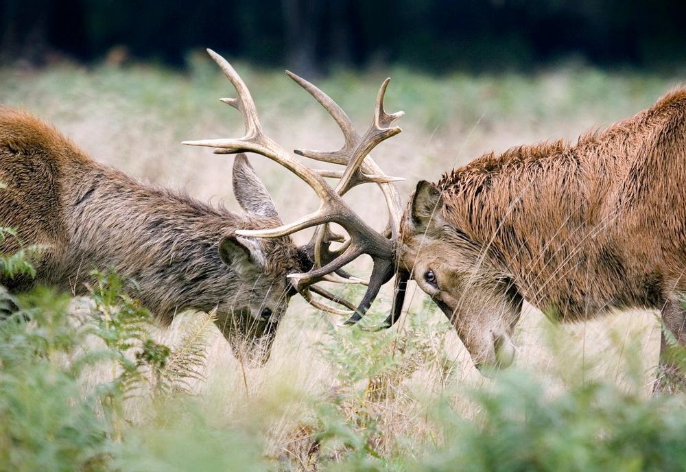 To hjort stanger mot hverandre. Foto