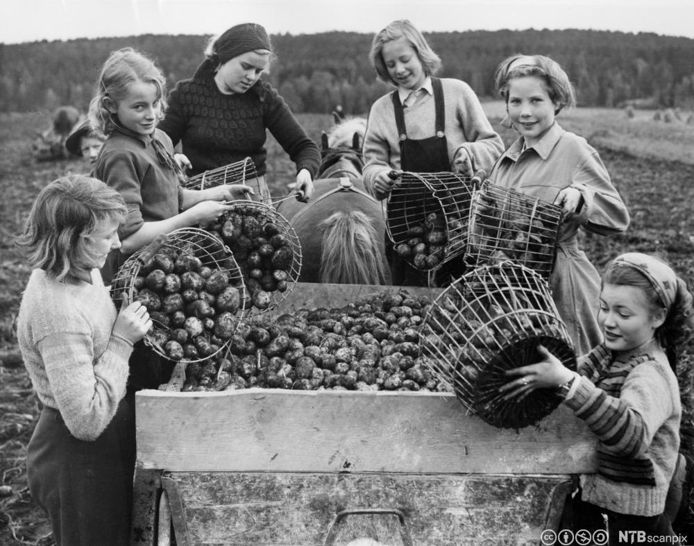 Jenter frå Ruseløkka skule i Oslo plukkar poteter i Ski, hausten 1950. Foto.