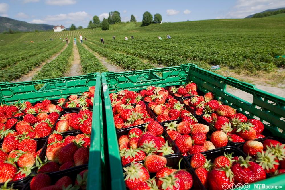 Jordbærkasse og jordbærplukkere. Foto.