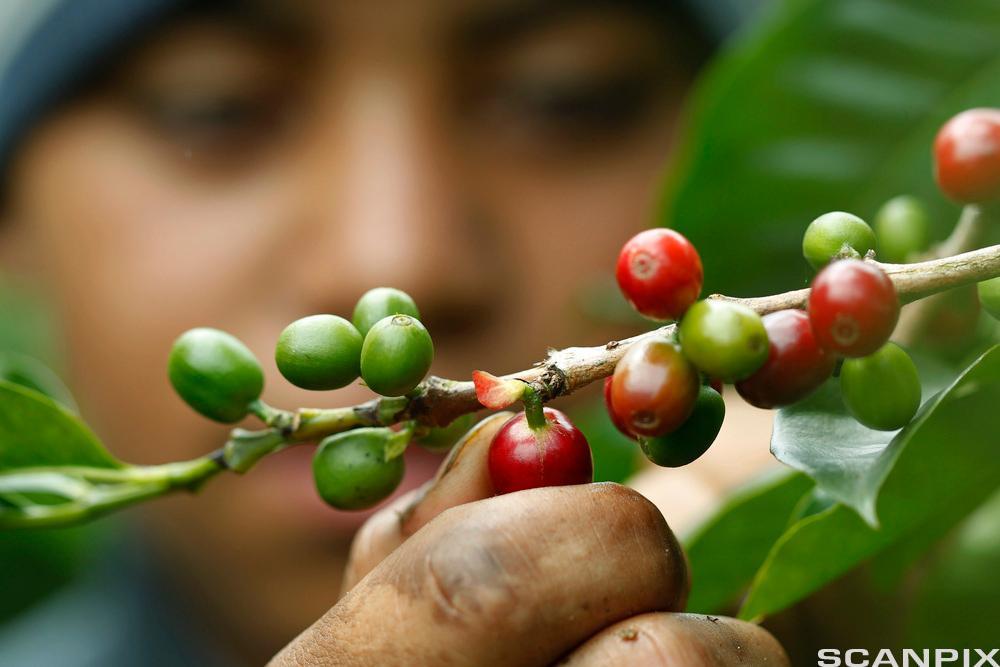 Arbeider plukker kaffebønner. Foto.