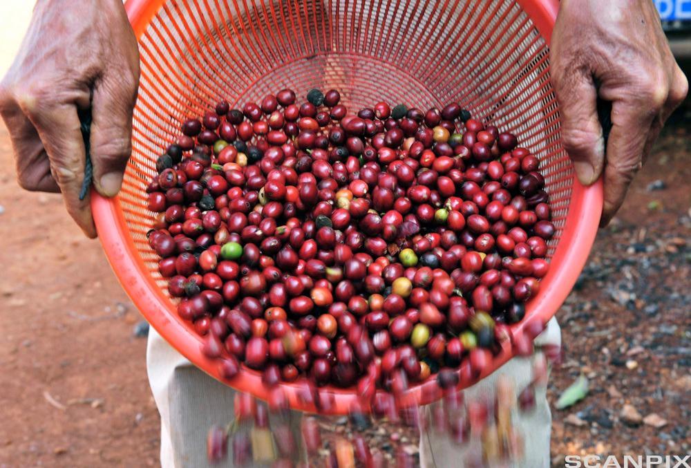 Arbeider siler ut kaffibønner i ei kurv. Foto.