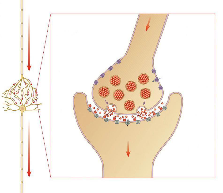 To nervecelle og en forstørrelse av berøringspunkt mellom dem.