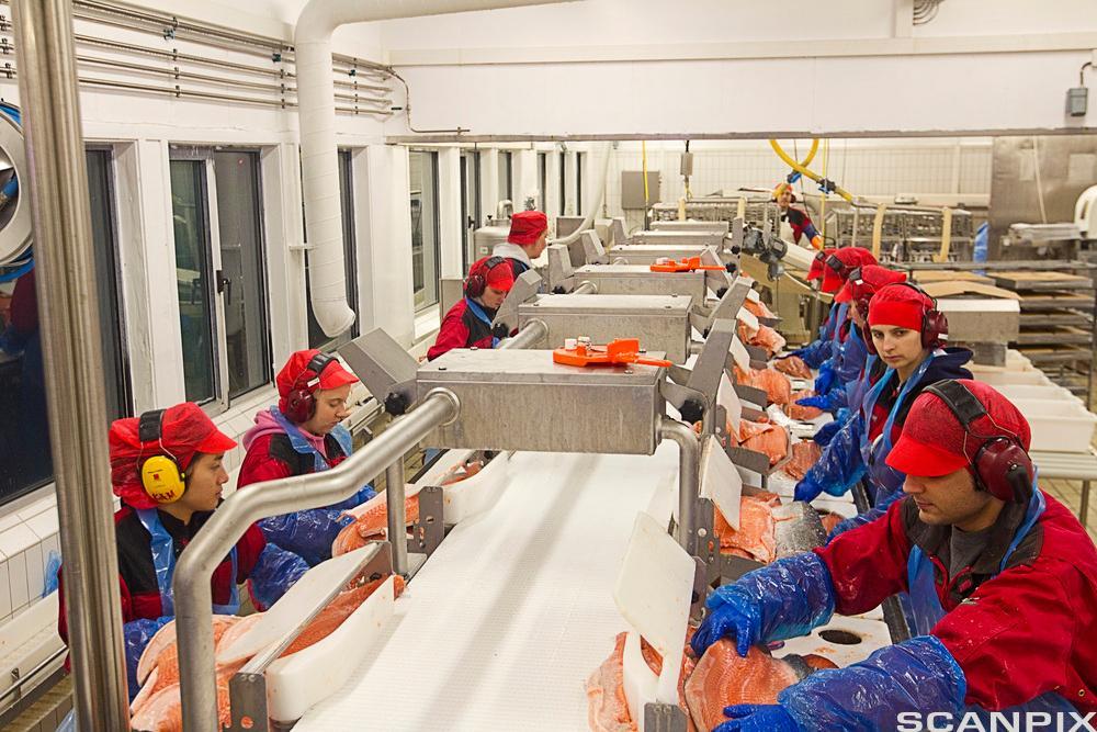 Arbeidarar i fiskeindustrien ved samleband. Foto.