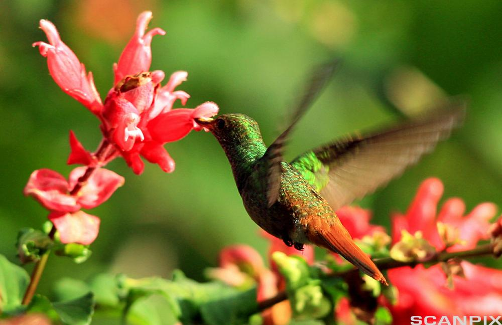 Kolibri som drikker nektar. Foto