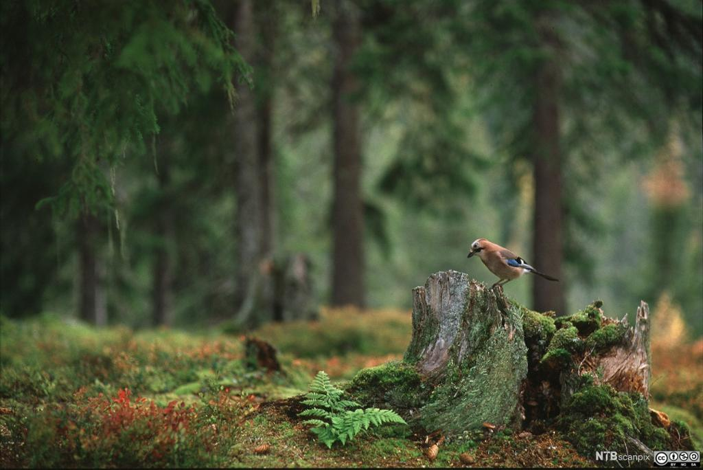 Nøtteskrike sitter på en morken stubbe i gammel barskog. Foto.