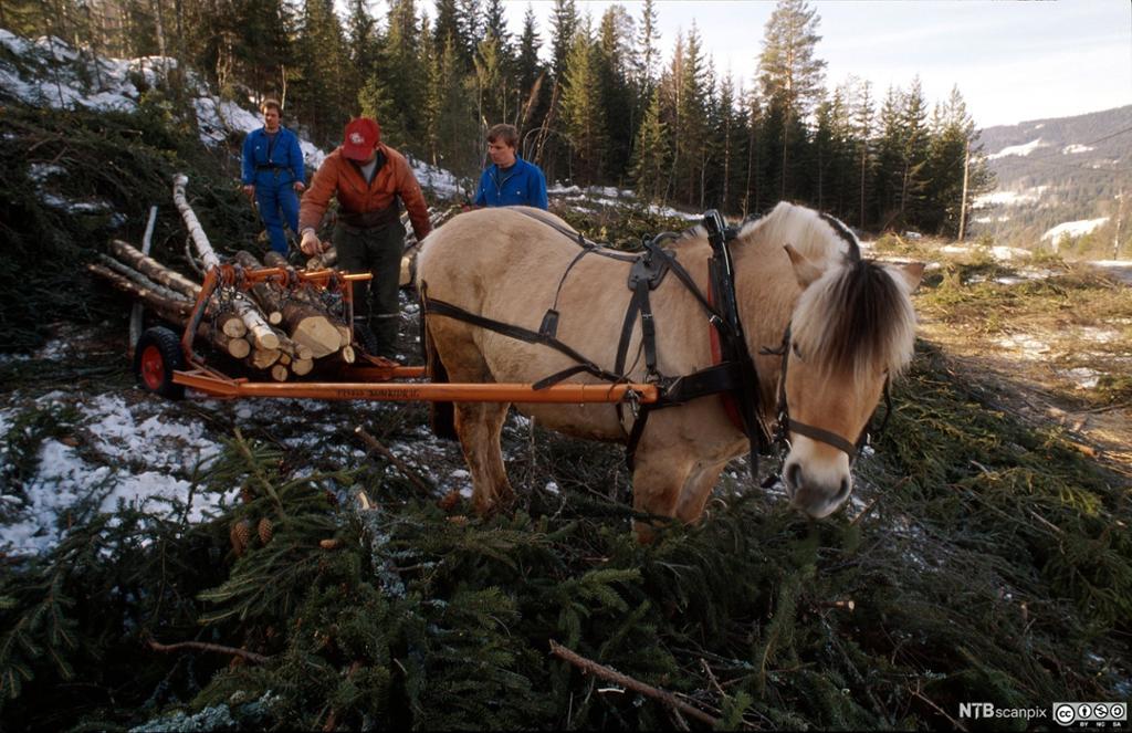 Tømmertransport med hest fra hogstfelt. Foto.