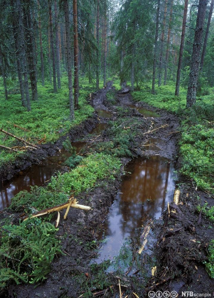 Spor etter hogstmaskin over frodig skogsbunn. Foto.