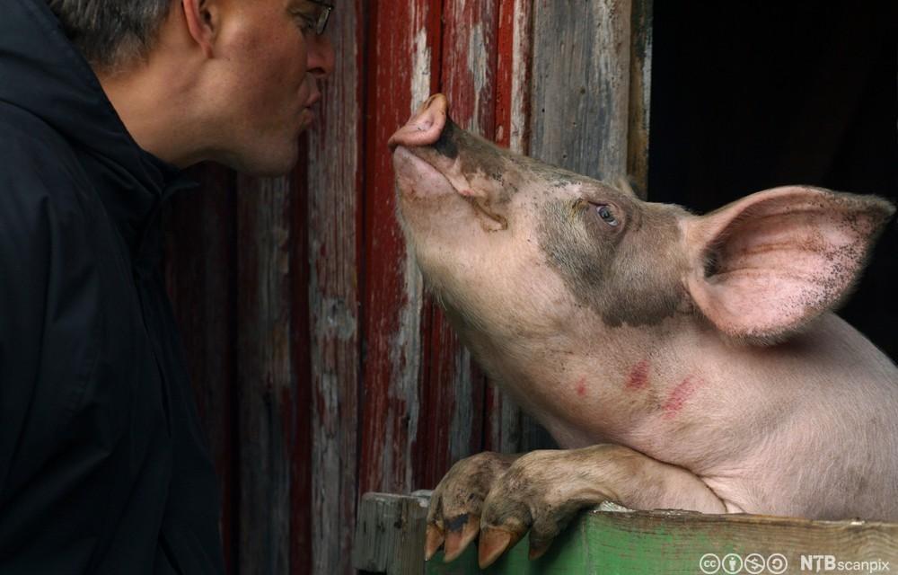 Mann og gris. Foto.