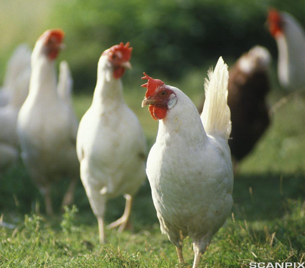Frittgåande høner. Foto.
