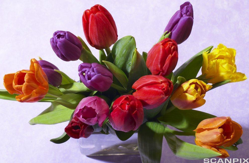 Bukett med fargerike tulipaner. Foto.