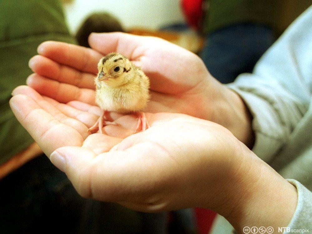 Kylling i hand. Foto
