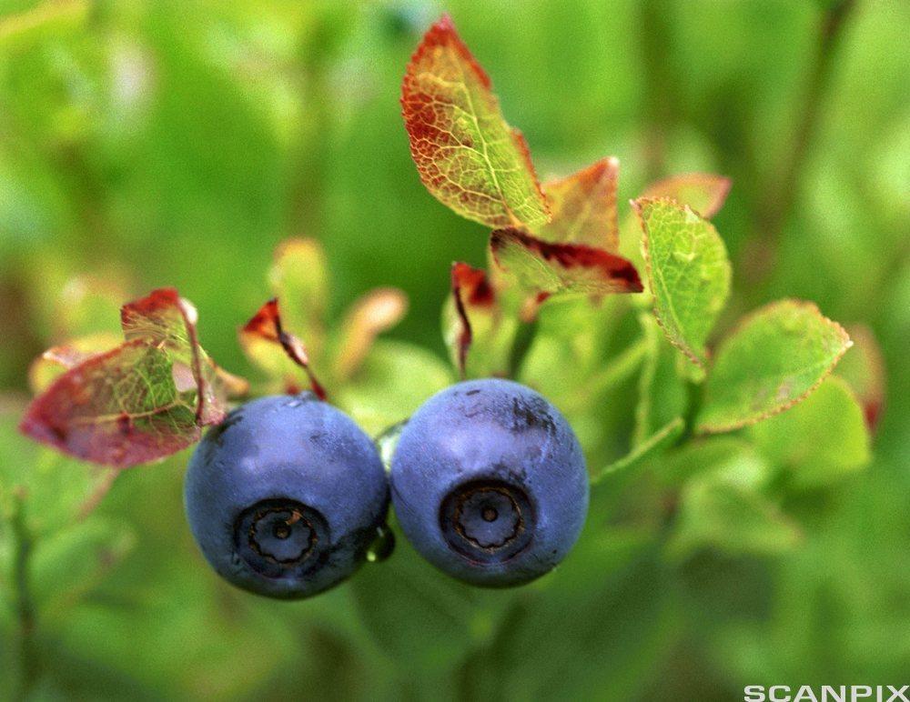 Bilde av blåbær. Foto