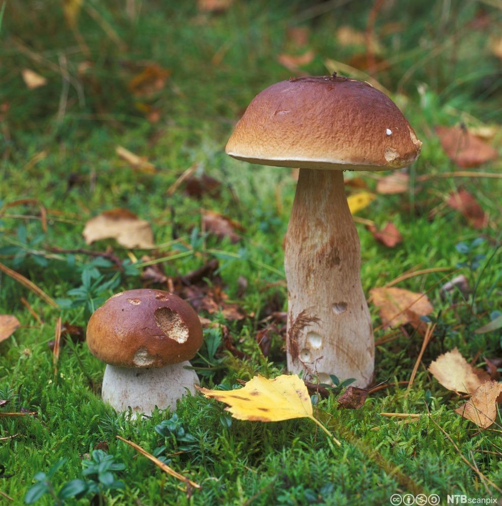 Steinsopp i skogen. Foto.