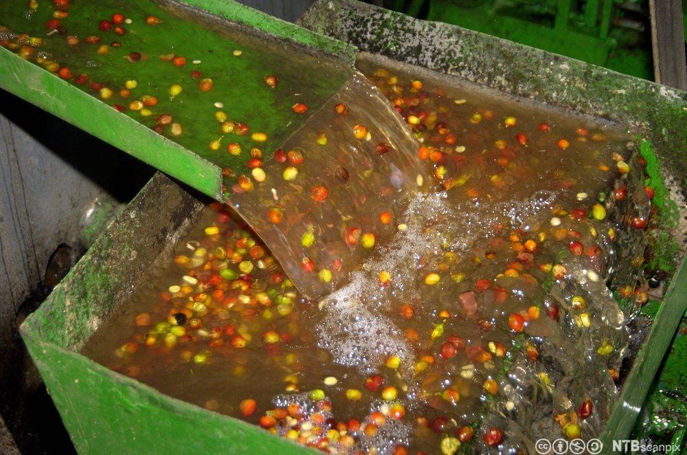Kaffebønner blir vasket. Foto.