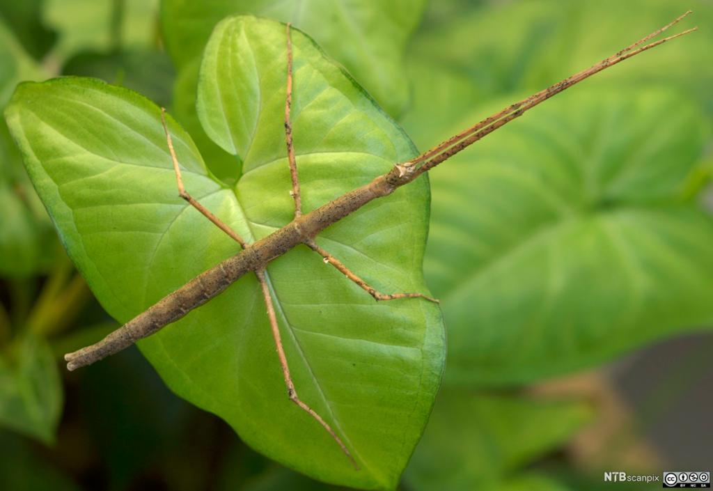 Pinnedyr som beiter på blader. Foto.