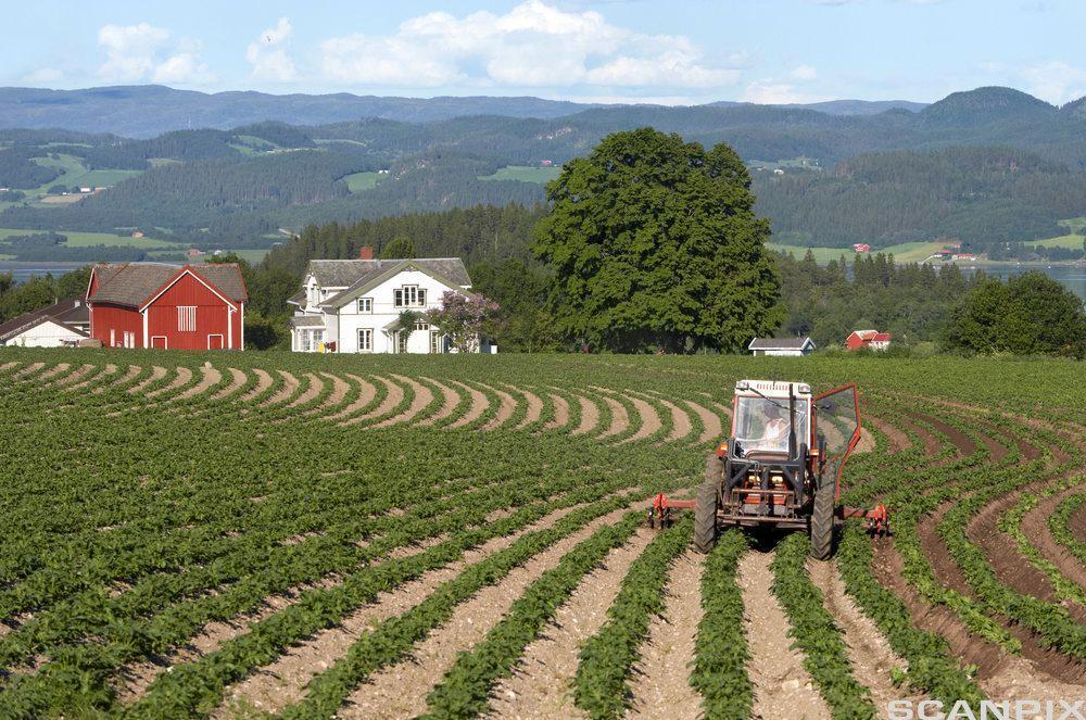 Ein traktor på ein åker hyppar poteter. Foto.