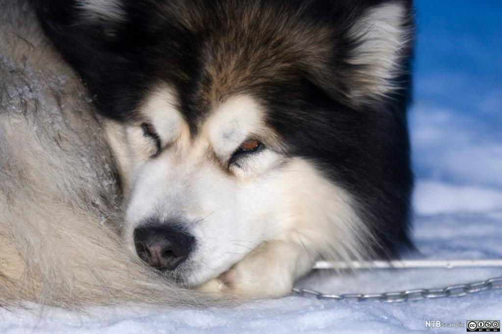 Polarhund som har rullet seg sammen for å sove. Foto.