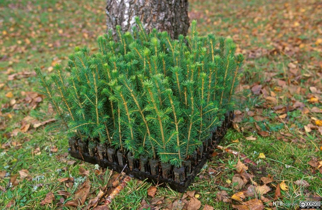 Brett med granplanter klare for planting