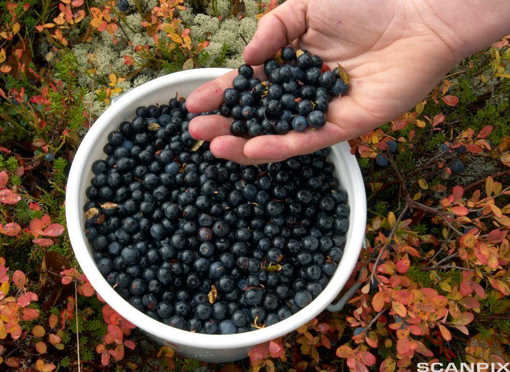 En hånd legger ned blåbær i en bolle. Foto.