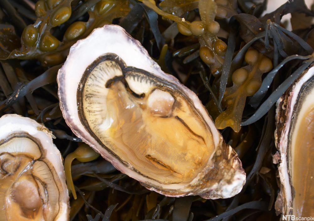bilde av rå østers klare til å spises