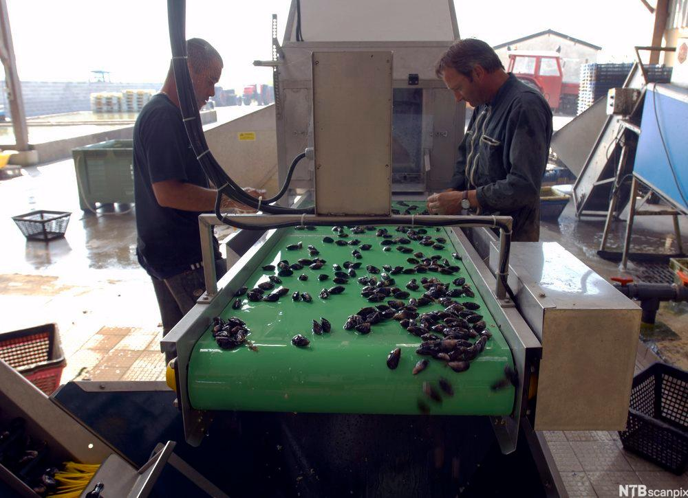 Vasking og sortering av blåskjell