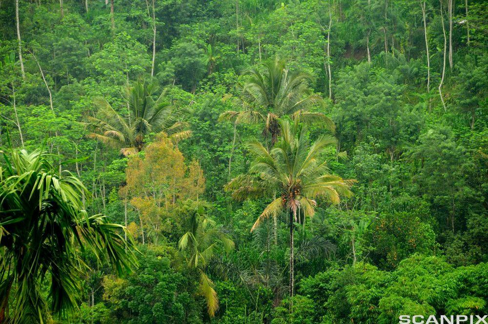Bilde Tett regnskog, Bali, Indonesia