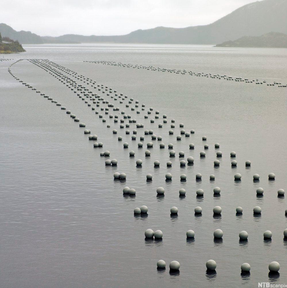 Bøyestrekk av blåskjell i en fjord. Foto.